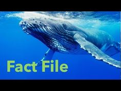 Ocean videos for kids that are perfect for your study of the ocean in kindergarten and first grade. Learn about the five different oceans, coral reefs, and ocean animals with these teacher-approved videos. Ocean Animals For Kids, Dolphins For Kids, Sharks For Kids, Ocean Lesson Plans, Toddler Storytime, Baleen Whales, Ocean Video, Shark Diving, Oceans Of The World