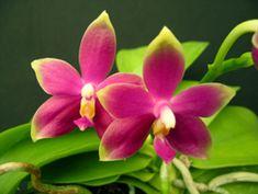 Phal. violacea (Malaysia x var. Borneo) Beautiful fancy girl from Hausermann.com