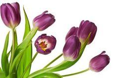 Fototapeta fialové tulipány