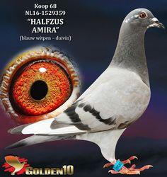 "068 - NL16-1529359 ""HALFZUS AMIRA"" ♀ | De Duif"