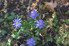 Den blå haveanemone står trofast i blomst samme sted år efter år. Den har ikke bredt sig nævneværdigt.