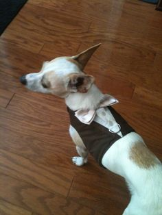LARGE - TUXEDO HARNESS Brown with Champagne Satin Bow Tie - Dog Puppy Cat Pet. $55.00, via Etsy.