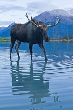 At the Alaska Wildlife Center. Moving the moose to dry ground during seasonal flooding