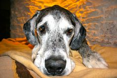 Archie the Great Dane x