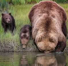A picture of maternal patience: Brown bear carries her cub across a river on her back because the youngster is afraid of the water Daily Mail Online Nature Animals, Animals And Pets, Baby Animals, Funny Animals, Cute Animals, Baby Pandas, Baby Bears, Animals Images, Wild Animals