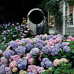 beautiful hydrangeas.......