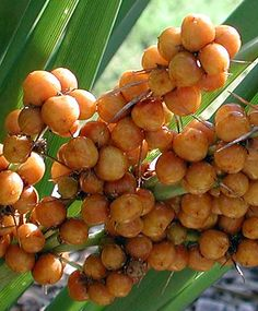 Lomandra Spicata- Rainforest mat- rush