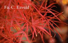 Acer palmatum 'Hupp's Red Willow'
