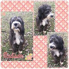 Fort Wayne, IN - Schnauzer (Standard)/Poodle (Miniature) Mix. Meet Madison, a dog for adoption. http://www.adoptapet.com/pet/17564695-fort-wayne-indiana-schnauzer-standard-mix