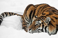 Tiger watching in the snow.