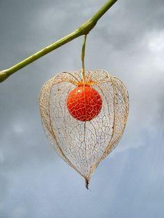 Chinese Lantern Plant (Physalis alkekengi)