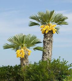 Spiny Fiber palm (Trithrinax campestris) in flower