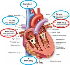 Blood Flow Through The Heart Diagram Blood Flow Through The Heart Diagram Unique Anatomy Of The Heart. Blood Flow Through The Heart Diagram Diagram Of. Cardiac Anatomy, Medical Anatomy, Cardiac Nursing, Surgical Nursing, Basic Anatomy And Physiology, Heart Diagram, Nursing School Notes, Medical School, Heart Anatomy
