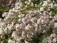 Chamelaucium ciliatum, Albany wax, up to 80cm, spring flowers are white aging to pinkish red, responds well to light pruning