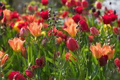 tulip combinations - Google Search