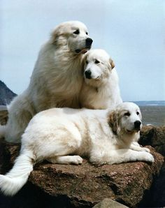 Somehow they kind of look like beached beluga whales. A trio of Great Pyrenees on rocks by the seashore.
