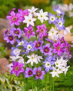 Glory of the Sun Mix - 8 Bulbs 5/+ cm - Leucocoryne Mix - Hirt's Gardens