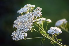 Recipe for fever breaking tea. ~M Yarrow (Achillea millefolium) is an easy-to-grow medicinal herb that can be used topically to help heal wounds and internally to break a fever. Healing Herbs, Medicinal Herbs, Wound Healing, Plants That Repel Ants, Yarrow Plant, Herbs For Sleep, Achillea Millefolium, Drought Tolerant Plants, Natural Herbs