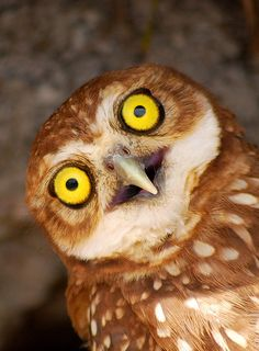Owls with Stupid Expressions on their Faces