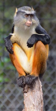 Wolf Guenon Monkey by Amazing Animals, Interesting Animals, Unusual Animals, Rare Animals, Animals Beautiful, Animals And Pets, Funny Animals, Strange Animals, Primates