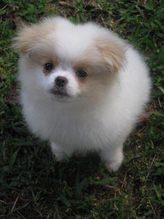 Chineranian. Japanese Chin x Pomeranian