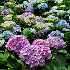 hydrangea- memories of Grampa Parker, Cape Cod- can't get enough of these