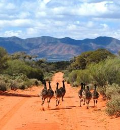 Emus on the run  Google Image Result for http://www.flindersoutbackdaytours.co