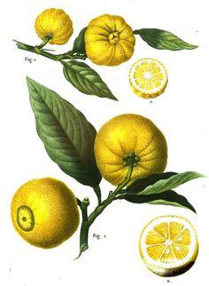 #Fruit du #citronnier, de #couleur #jaune, le #citron est un #agrume qu'on utilise en #cuisine dans les plats et les boissons #numelyo #color #couleur