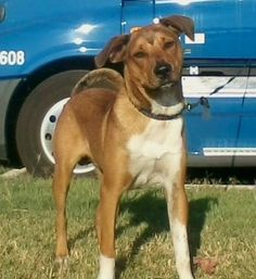 "NCI Driver Bill King is looking for his lost dog in Liberal, Ks. Bill asks, ""Could you please print and post this picture? Lost one year male dog. Goes by the name of Taz. Please call Bill at 402-705-4459 if you have seen him. Last seen at Walmart in Liberal KS."""