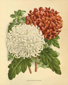 Chrysanthemums flower art print botanical