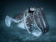 Reef Cuttlefish - Sepia latimanus. Mae Haad, Thailand