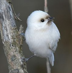 Albino chickadee...actually this cutie is leucistic, not albino.  If it was a true albino it's eyes would be red.  It can come live in my backyard anytime though :).