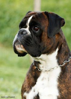 Brindle Boxer....love that face!                                                                                                                                                      More