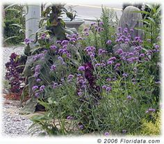 Cymes of the purpletop verbena are balanced upon long slender stems putting them within convenient reach of passing butterflies. Butterfly Plants, Butterflies, Annual Plants, Verbena, Tropical Garden, Drought Tolerant, South Florida, Stems, Purple Flowers