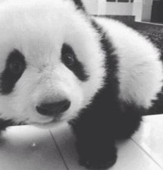 Baby Panda <3 they're just so cute.