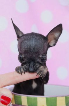 Effective Potty Training Chihuahua Consistency Is Key Ideas. Brilliant Potty Training Chihuahua Consistency Is Key Ideas. Chihuahua Puppies For Sale, Baby Chihuahua, Teacup Puppies, Cute Puppies, Cute Dogs, Dogs And Puppies, Doggies, Sweet Dogs, Image Hd