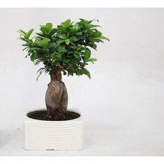 Ginseng Ficus en un ribbelpot