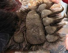 Amazing Animal Pictures, Bear Paws, Great Pic, Character Art, Cool Photos, Wildlife, Cartoon, Animals, Montana