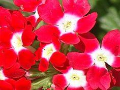 Quartz Red With Eye Verbena (<i>Verbena x hybrida</i> 'Quartz Red with Eye')