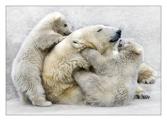 Polar Bears do not hibernate. Female Polar Bears are known to den with their young. Baby Animals, Funny Animals, Cute Animals, Animal Babies, Baby Polar Bears, Bear Photos, Bear Images, Love Bear, Tier Fotos