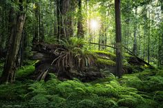 """Forever Green - Deep in the Redwoods there is still a mystical and prehistoric atmosphere. Enjoy this dark green aura.  Prints and licensing available.  <a href=""""https://www.facebook.com/StefanHefelePhotography"""">Facebook Fan Site</a>  <a href=""""http://www.stefan-hefele.de/en/news.html"""">www.stefan-hefele.de</a>"""