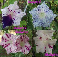 Kikyo-Speckled-Mix-Picotee-Japanese-Morning-Glory-Seeds-ipomoea-Nil-RARE