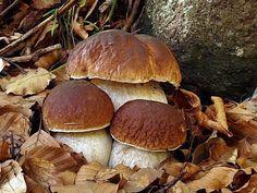 Edible Boletus edulis Mushrooms are Awesome Edible Wild Mushrooms, Growing Mushrooms, Stuffed Mushrooms, Mushroom Pictures, Slime Mould, Mushroom Hunting, Mushroom Fungi, Wild Edibles, Autumn