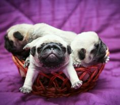 Pugs Will Sleep Anywhere...awe! I need baby pugs in a basket for my home!
