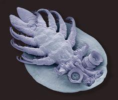 Foto 7 de 10 - Categoria: commendation prize. O britânico Steve Gschmeissner capturou este piolho de peixe em um microscópio eletrônico. Crédito: Royal Society Publishing/Steve Gschmeissner.  http://gizmodo.uol.com.br/wp-content/blogs.dir/8/files/2015/12/r7.jpg