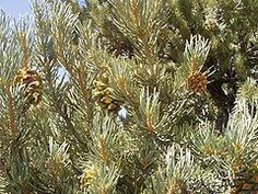The pinyon (or piñon) pine group grows in the southwestern United States and in Mexico. The trees yield edible pinyon nuts, which were a staple of the Native Americans, and are still widely eaten. The wood, especially when burned, has a distinctive fragrance.