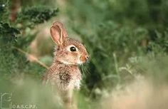 """Résultat de recherche d'images pour """"lapin sauvage"""""""