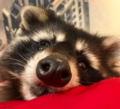 Raccoon Art, Racoon, Cute Animal Photos, Animal Pictures, Rocky Raccoon, Cute Funny Animals, Woodland Animals, Beautiful Creatures, Animals And Pets