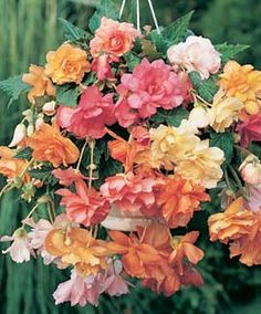 "Garden 2014: from Dutch Gardens, Begonia, Flamingo Cascading, #6416, (6 each) for hanging baskets on decks and in plant house. ""Perfect for hanging baskets, windowboxes, pots. A mixture of colors that's perfect for shady corners. Cascading habit gives a full, lush show."""