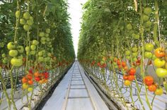 Hydroponics Gardening Harnois Greenhouse - Commercial Hydroponic Tomato Production - Tracks between rows are for harvest carts. Hydroponic Tomatoes, Hydroponic Farming, Hydroponic Plants, Hydroponic Growing, Aquaponics, Growing Plants, Hydroponic Vegetables, Greenhouse Gardening, Gardening Tips